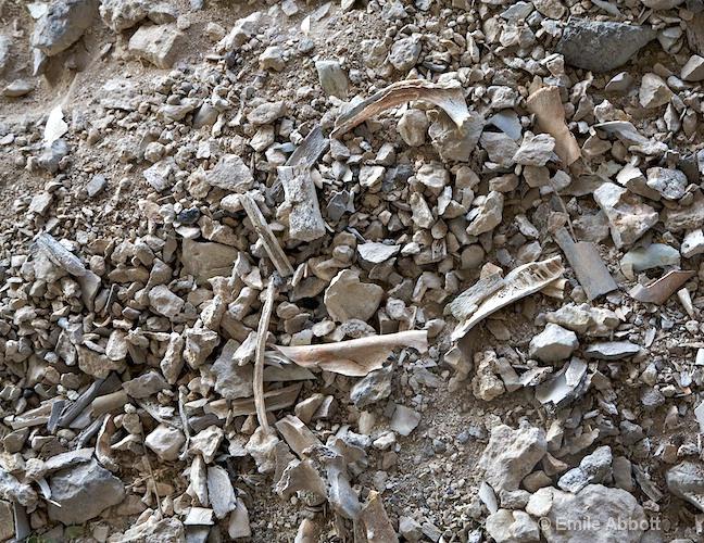Bison bison bones from Bonfire Shelter
