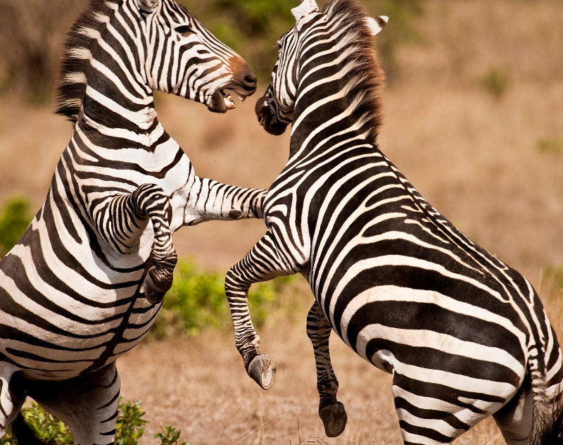 Zebra Fight #1