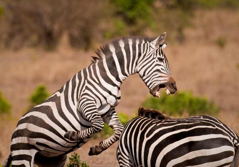 Zebra Fight #2
