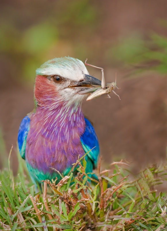 Roller Bird- Kenya Africa