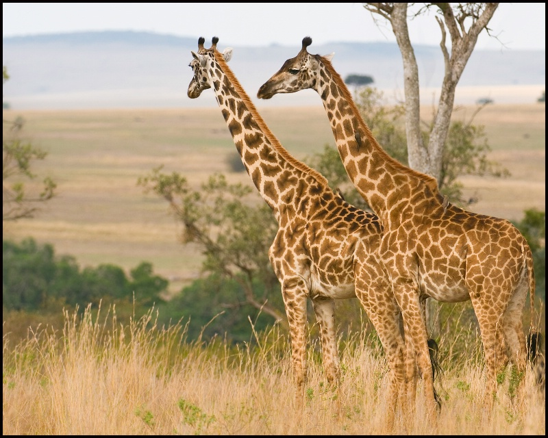 Giraffes in the Wild #1