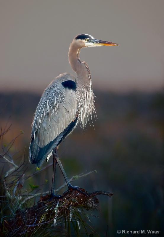 Great Blue Heron at Anhinga