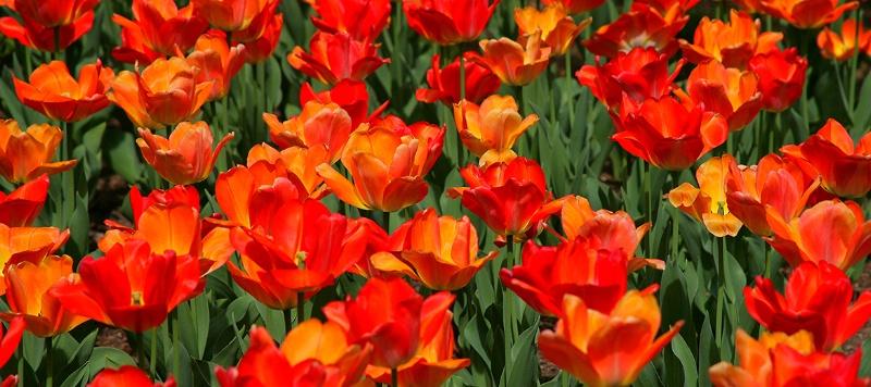 spring tulip 1