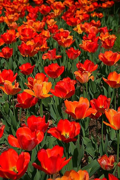 spring tulip 2
