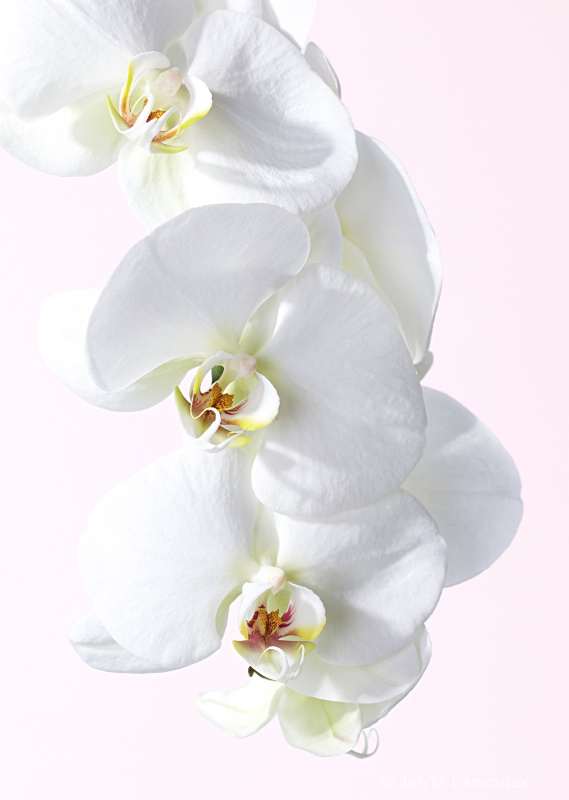 Soft White Orchid