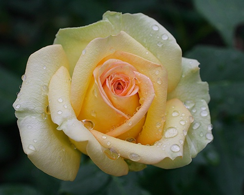 rose with water
