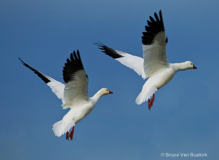Twin snow geese
