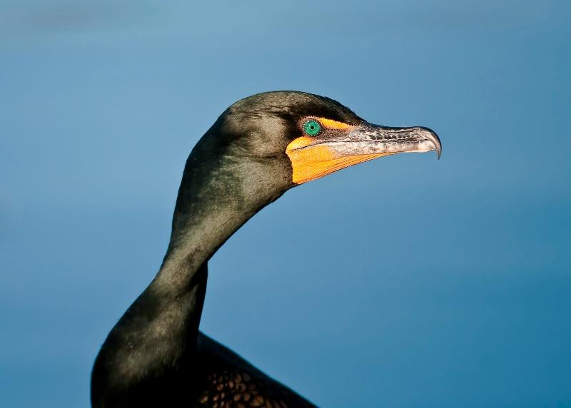 Eye of the Cormorant