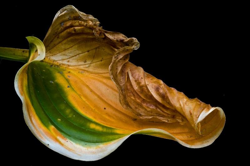 Hosta Leaf In Death