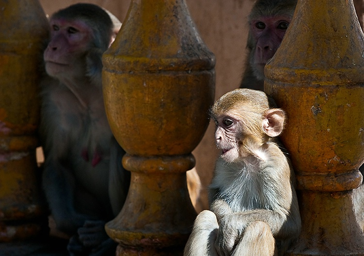 Monkeys, Myanmar (Burma)