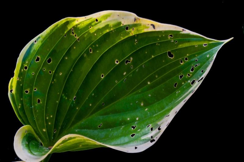 The Aging Hosta leaf