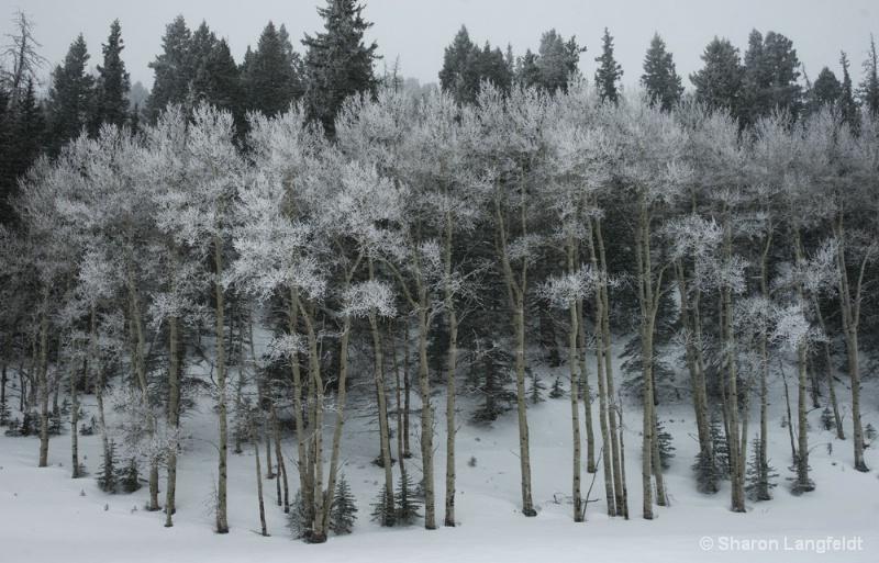 Lacy Winter Aspens