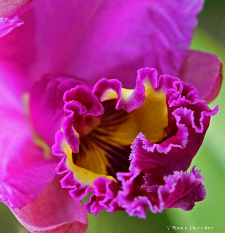 Ruffled Orchid