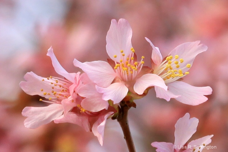 Pink In Spring II