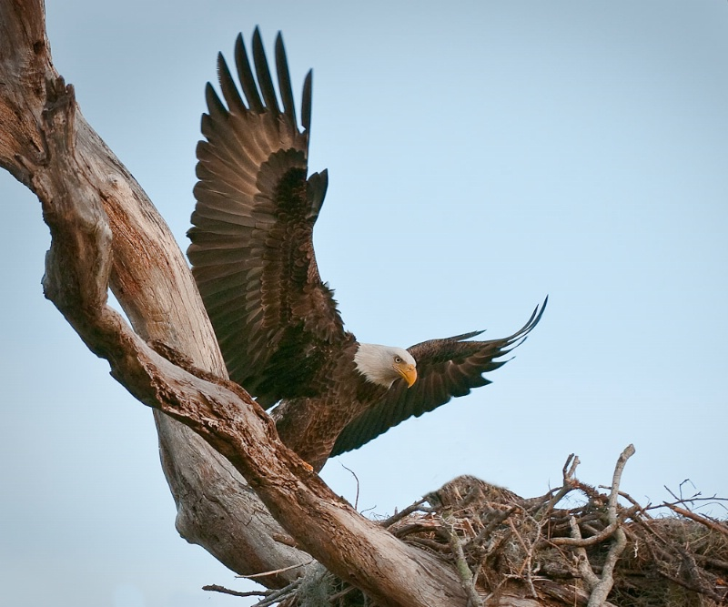 American Eagle At Nest