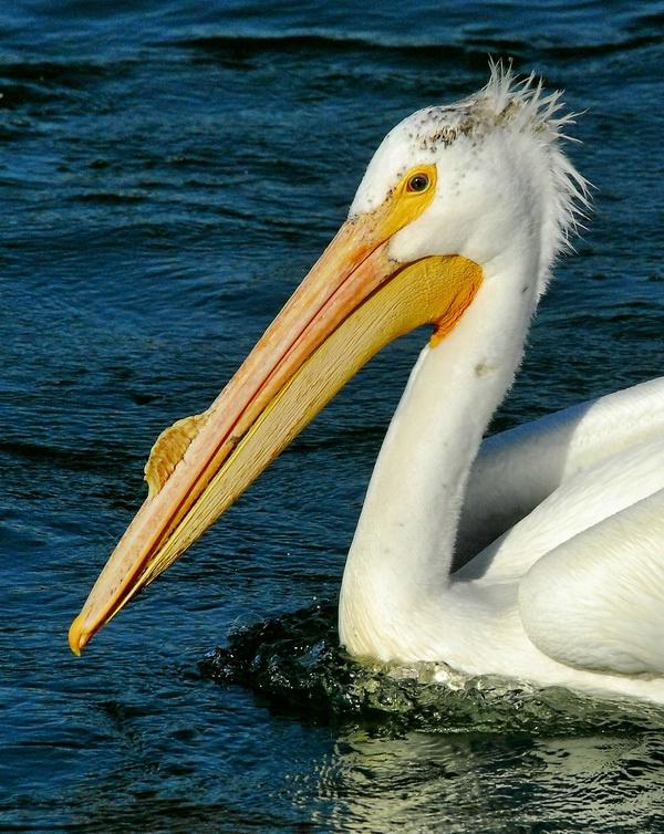 A Pelican Profile