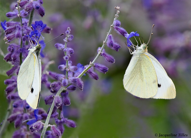 Cabbage Butterflies on Russian Sage