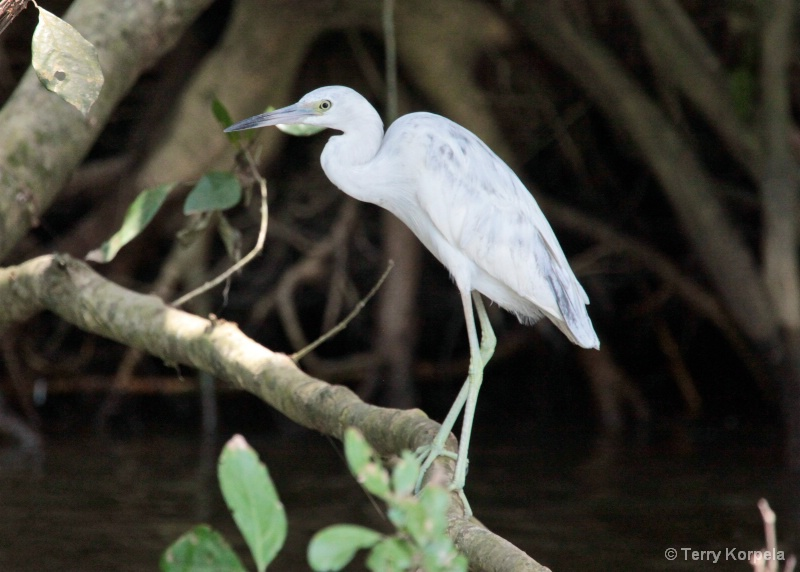 Little Blue Heron (infant)