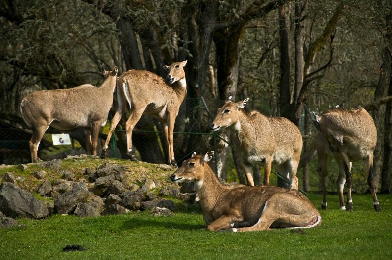 Nilgai Antelope Cows, Wildlife Safari-OR