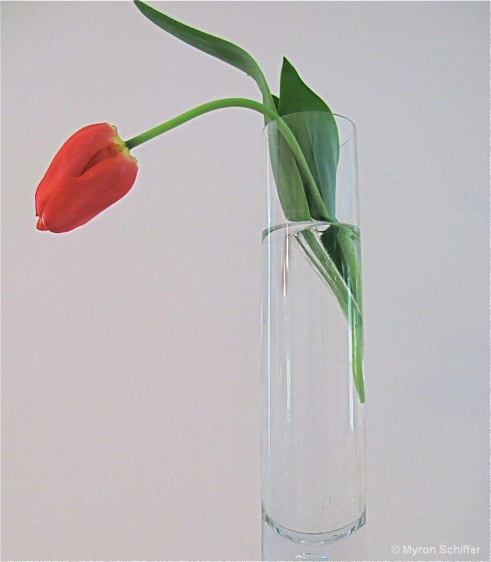 Lonesome Tulip 1