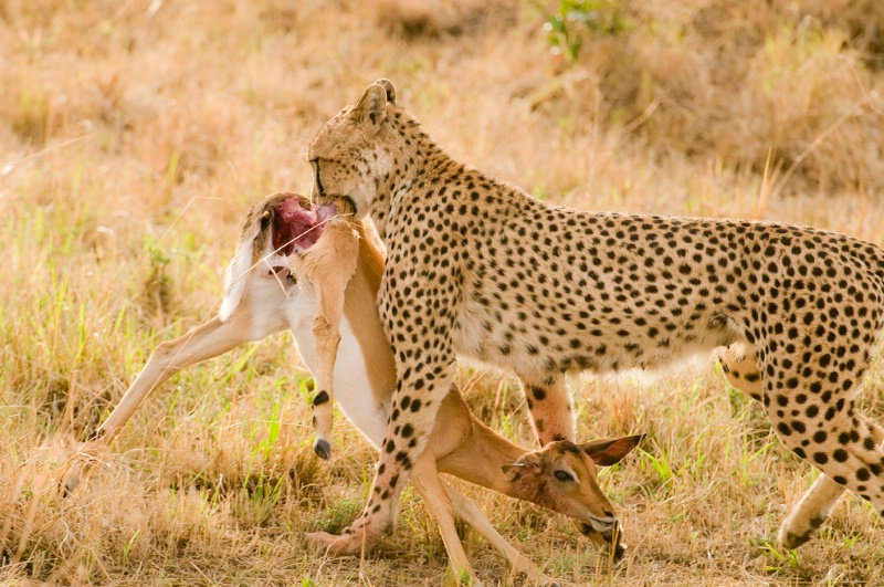 Cheetah with Fresh Prey