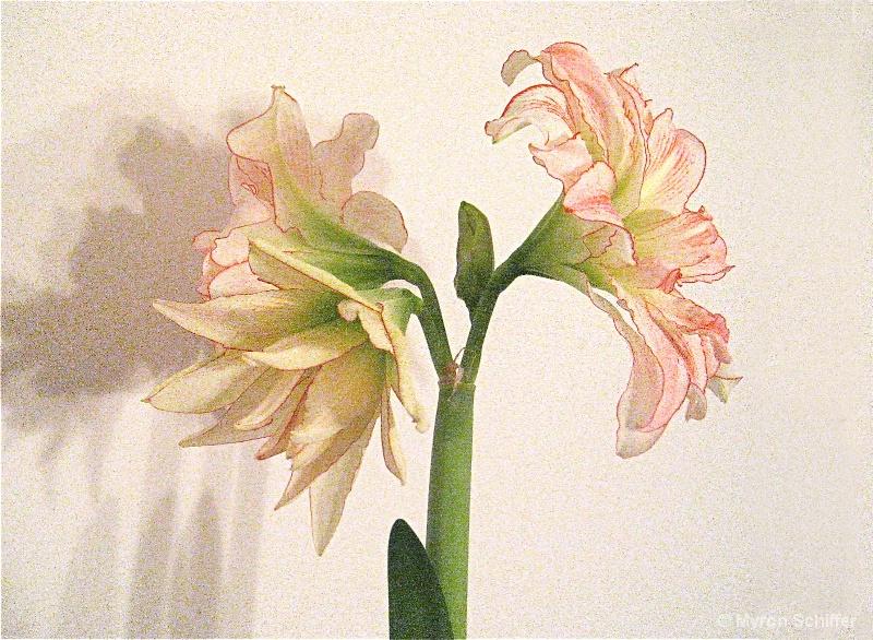 Candystripe Amaryllis Series II