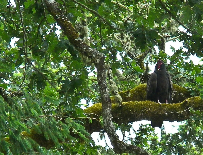 Local Turkey Vulture, Oregon