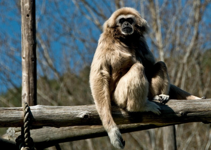 Gibbon, Wildlife Safari-Oregon