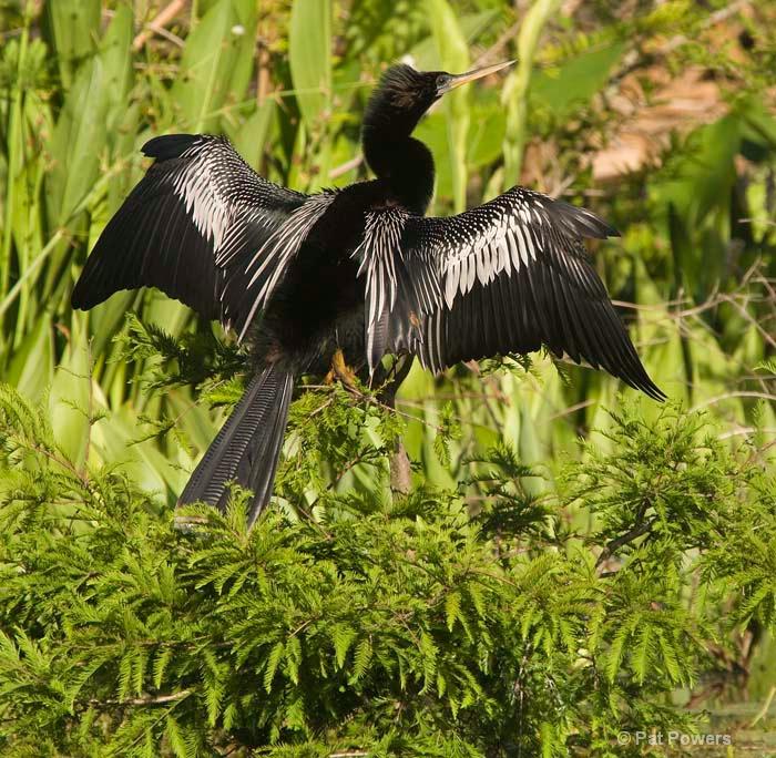 Anhinga, Drying its Wings