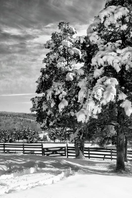 Twin Cedars in Winter