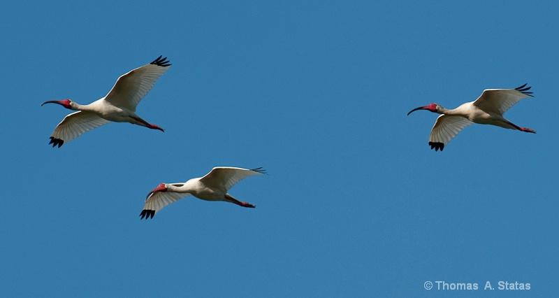 tom statas ibis birds