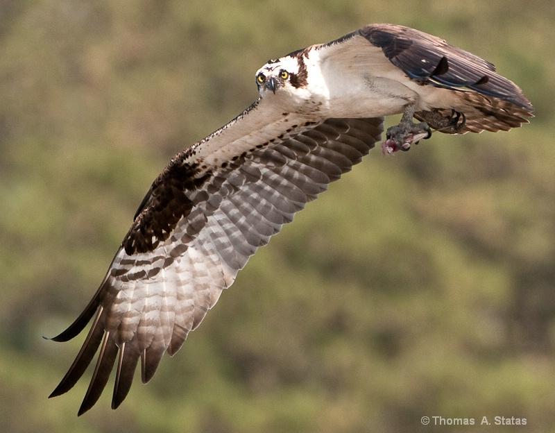 tom statas osprey birds