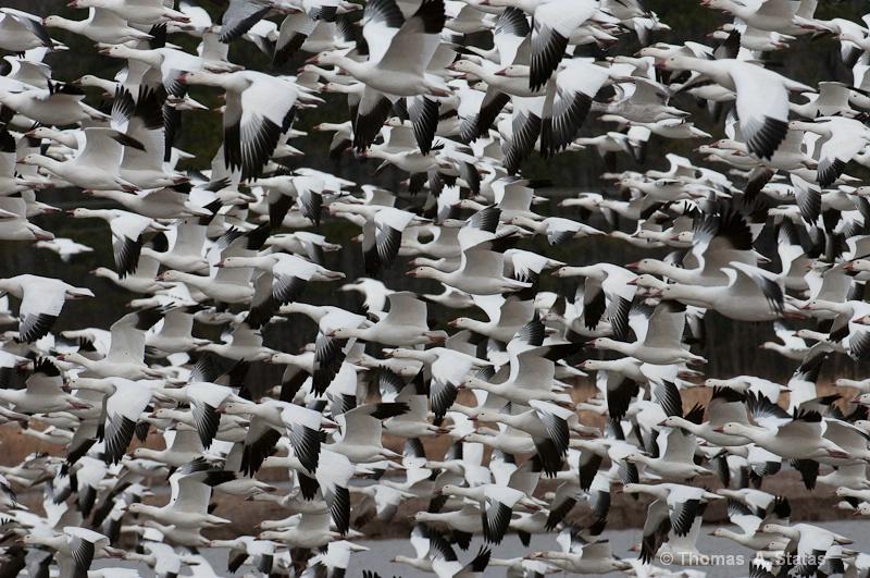 tom statas snow geese art in n
