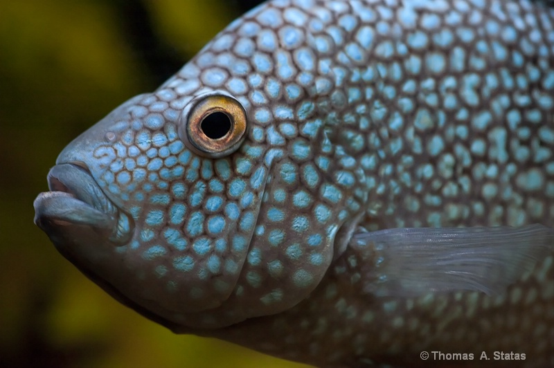 tom statas spotted fish aquari