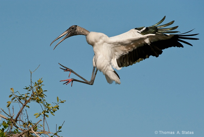 tom statas wood stork birds