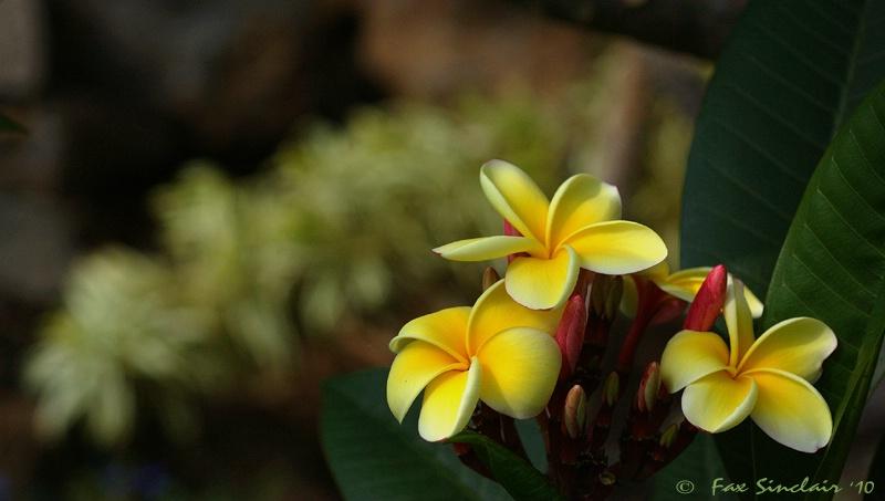 Plummeria Display
