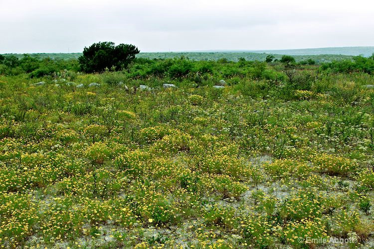 Bitter Weed covers in yellow