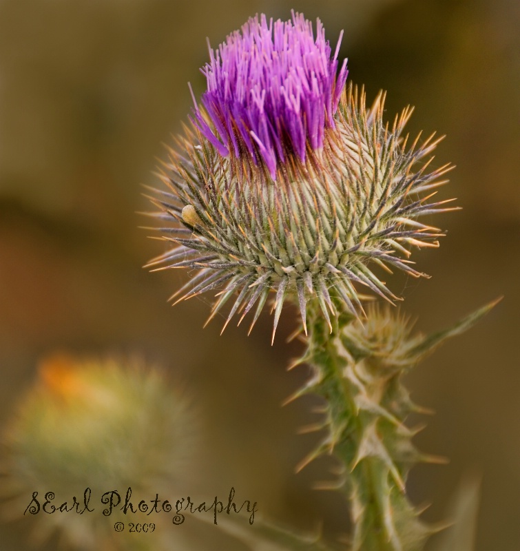 The Purple Weed
