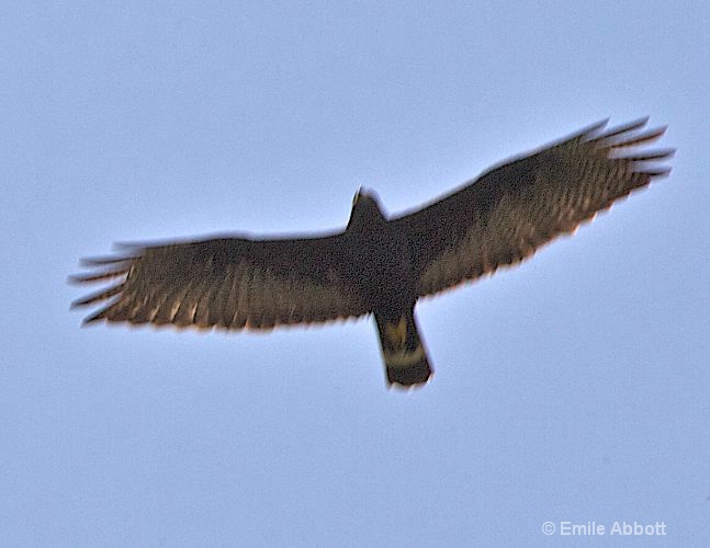 Zone Tail Hawk in flight