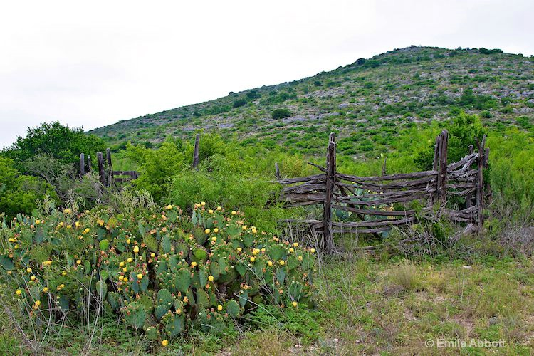 Old Corral and prickly pear in bloom