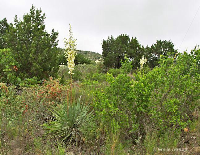 Yucca and Argarita