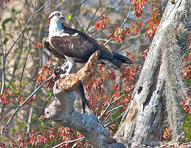 Osprey with fish at Lake Woodruff
