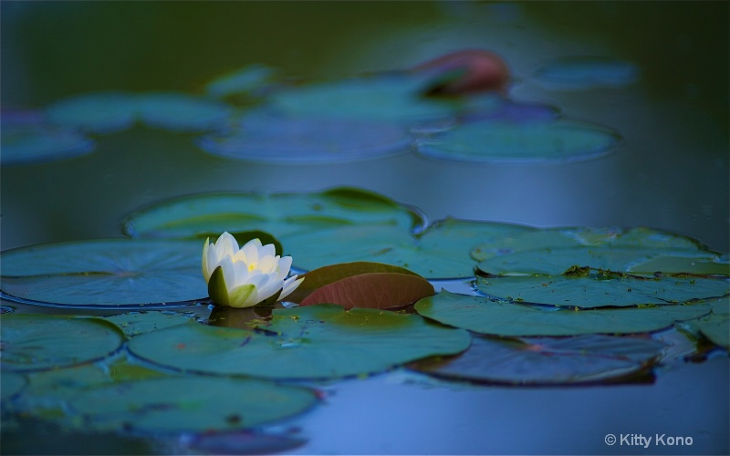 Water Lily at Eastern College