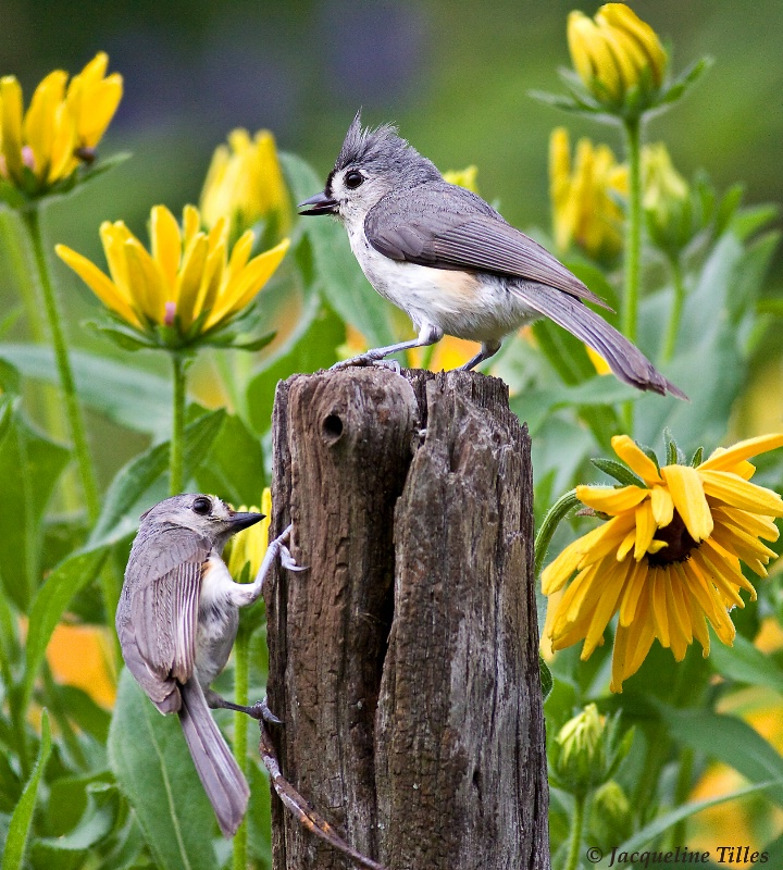 Mom & Baby Tufted Titmouse