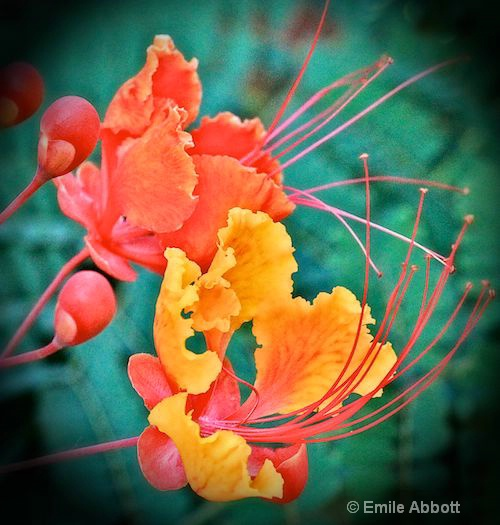 Mexican Red Bird of Paradise