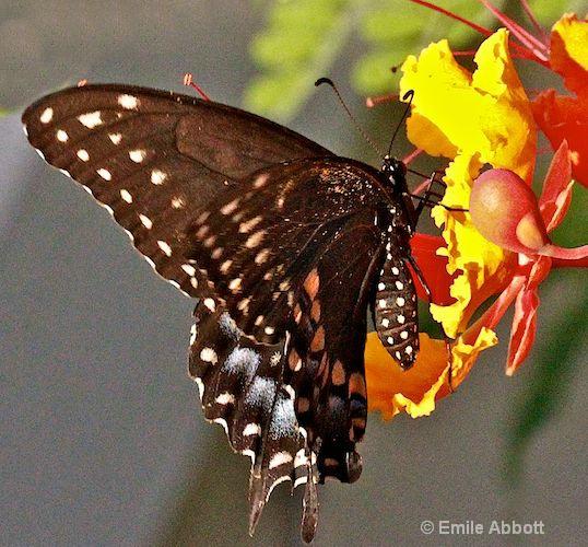 Two Tail Swallowtail on Caesalpinia