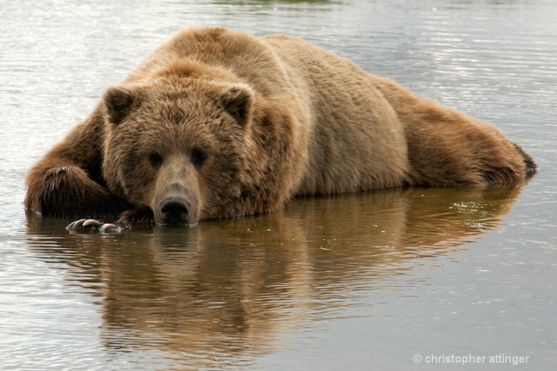 DSC_2256 Brown bear cooling off in stream