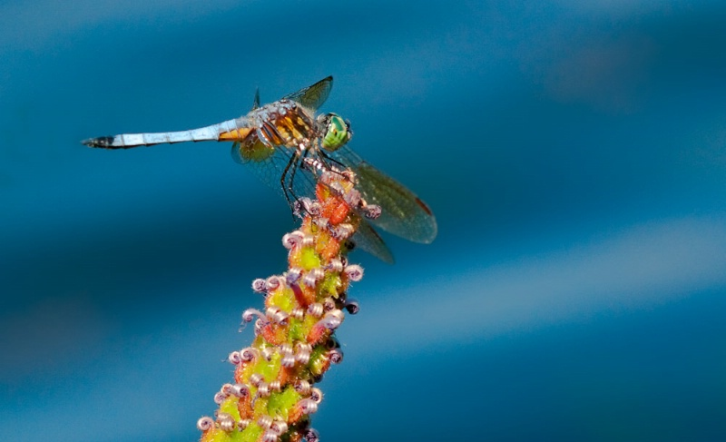 Blue Darter Dragonfly