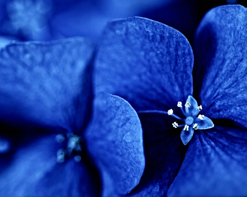 Bleached Blue Hydrangeas