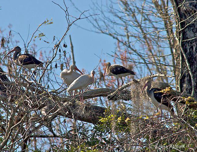 White Ibis Family